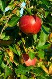 Nya sunda röda äpplen på ett träd i fruktträdgård åkerbruk taget höstbohemia sydligt Royaltyfria Foton