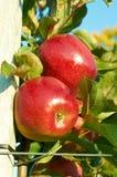 Nya sunda röda äpplen på ett träd i fruktträdgård åkerbruk taget höstbohemia sydligt Royaltyfri Foto