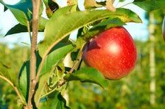Nya sunda röda äpplen på ett träd i fruktträdgård åkerbruk taget höstbohemia sydligt Arkivbild
