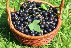 Nya svart vinbär Royaltyfria Foton