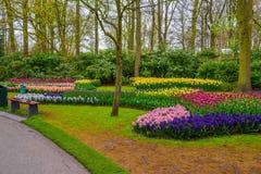 Nya tidiga vårrosa färger, lilor, vita hyacintkulor Blomsterrabatten med hyacinter i Keukenhof parkerar, Lisse, Holland, Nederlän Fotografering för Bildbyråer