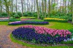Nya tidiga vårrosa färger, lilor, vita hyacintkulor Blomsterrabatten med hyacinter i Keukenhof parkerar, Lisse, Holland, Nederlän Royaltyfria Bilder