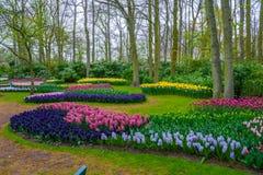 Nya tidiga vårrosa färger, lilor, vita hyacintkulor Blomsterrabatten med hyacinter i Keukenhof parkerar, Lisse, Holland, Nederlän Royaltyfri Fotografi