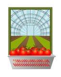 Nya tomater från växthuset Royaltyfri Foto