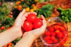Nya tomater i händer royaltyfria bilder