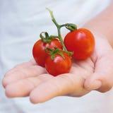 Nya tomater i kvinnahand Arkivbilder