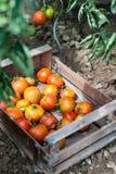 Nya tomater i trädgård Arkivfoto