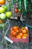 Nya tomater i trädgård Royaltyfria Foton