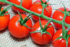 Nya tomater på vinrankan. Fotografering för Bildbyråer