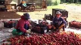 Nya tomater som skördas från trädgården, Don Duong område, Da-Latstad, Lam Dong landskap, Vietnam arkivfilmer