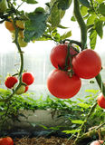 Nya tomatväxter Arkivfoto