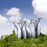 Nya tonfiskfiskar i korg Arkivfoto