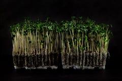Nya trädgårds- kress som är klara att skörda för salat på svart, kritiserar Royaltyfri Fotografi