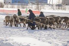 Nya Urengoy, YaNAO, nord av Ryssland Mars 1, 2016 Ferien av den norr nationaliteten Nenets man och norr hjortar i vinterdag Fotografering för Bildbyråer