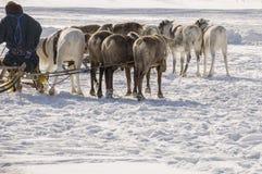 Nya Urengoy, YaNAO, nord av Ryssland Mars 1, 2016 Ferien av den norr nationaliteten Nenets man och norr hjortar i vinterdag Royaltyfria Bilder