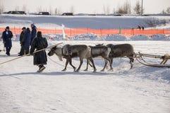 Nya Urengoy, YaNAO, nord av Ryssland Mars 1, 2016 Ferien av den norr nationaliteten Nenets man och norr hjortar i vinterdag Royaltyfri Bild