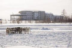Nya Urengoy, YaNAO, nord av Ryssland Mars 1, 2016 Ferien av den norr nationaliteten Nenets man och norr hjortar i vinterdag Royaltyfri Fotografi