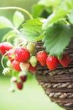 nya växta home jordgubbar Arkivfoto