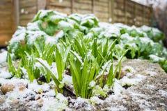 Nya växter som dyker upp från jord och snö Fotografering för Bildbyråer