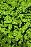 nya växtkryddor för basilika Arkivbild