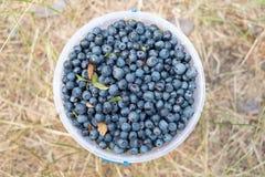 Nya valda organiska blåbär i hinken royaltyfri foto