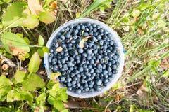 Nya valda organiska blåbär i skogen fotografering för bildbyråer