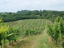 Nya vingårdar Royaltyfri Bild