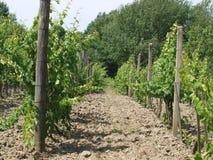 Nya vingårdtrees i bakgrunden Royaltyfria Bilder