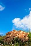 Nya wild champinjoner under en blå sky Arkivfoton