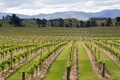 Nya Zeeland vingård på marlboroughlänet Royaltyfri Foto