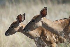 Nyala Νότια Αφρική στοκ εικόνες
