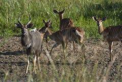 Nyala Νότια Αφρική στοκ φωτογραφία με δικαίωμα ελεύθερης χρήσης