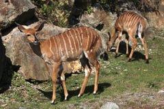 Nyala πεδινών (angasii Tragelaphus) Στοκ Εικόνες