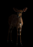 Nyala που στέκεται στο σκοτάδι Στοκ Εικόνες