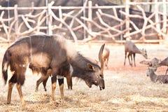 Nyala στο ζωολογικό κήπο Στοκ Εικόνες