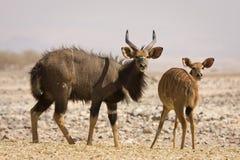 nyala антилоп стоковая фотография