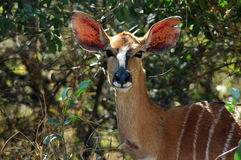 Nyala. Female Nyala, Kruger National Park South Africa Royalty Free Stock Image