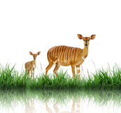 Nyala Royalty Free Stock Photos