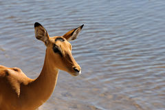 Nyala. Standing in the water Royalty Free Stock Image