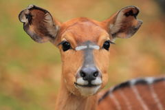 Nyala Royalty Free Stock Photo