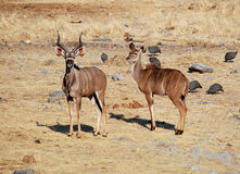 Nyala Photographie stock