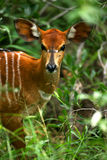 Nyala africano Imagem de Stock Royalty Free