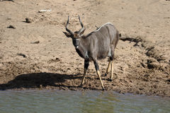 Nyala, angasii del Tragelaphus Fotos de archivo
