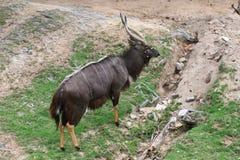 Nyala (angasii Tragelaphus) Στοκ Εικόνες