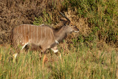 Nyala angasii or Tragelaphus angasii Royalty Free Stock Photography