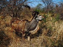 Nyala angasii or Tragelaphus angasii standing in the bush, Kruger, South Africa Royalty Free Stock Photo