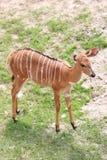 Nyala of animal in safari. Royalty Free Stock Photography