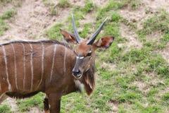 Nyala of animal in safari. Royalty Free Stock Photo