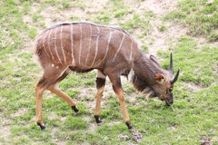 Nyala of animal in safari. Stock Image