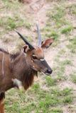 Nyala of animal in safari. Royalty Free Stock Photos